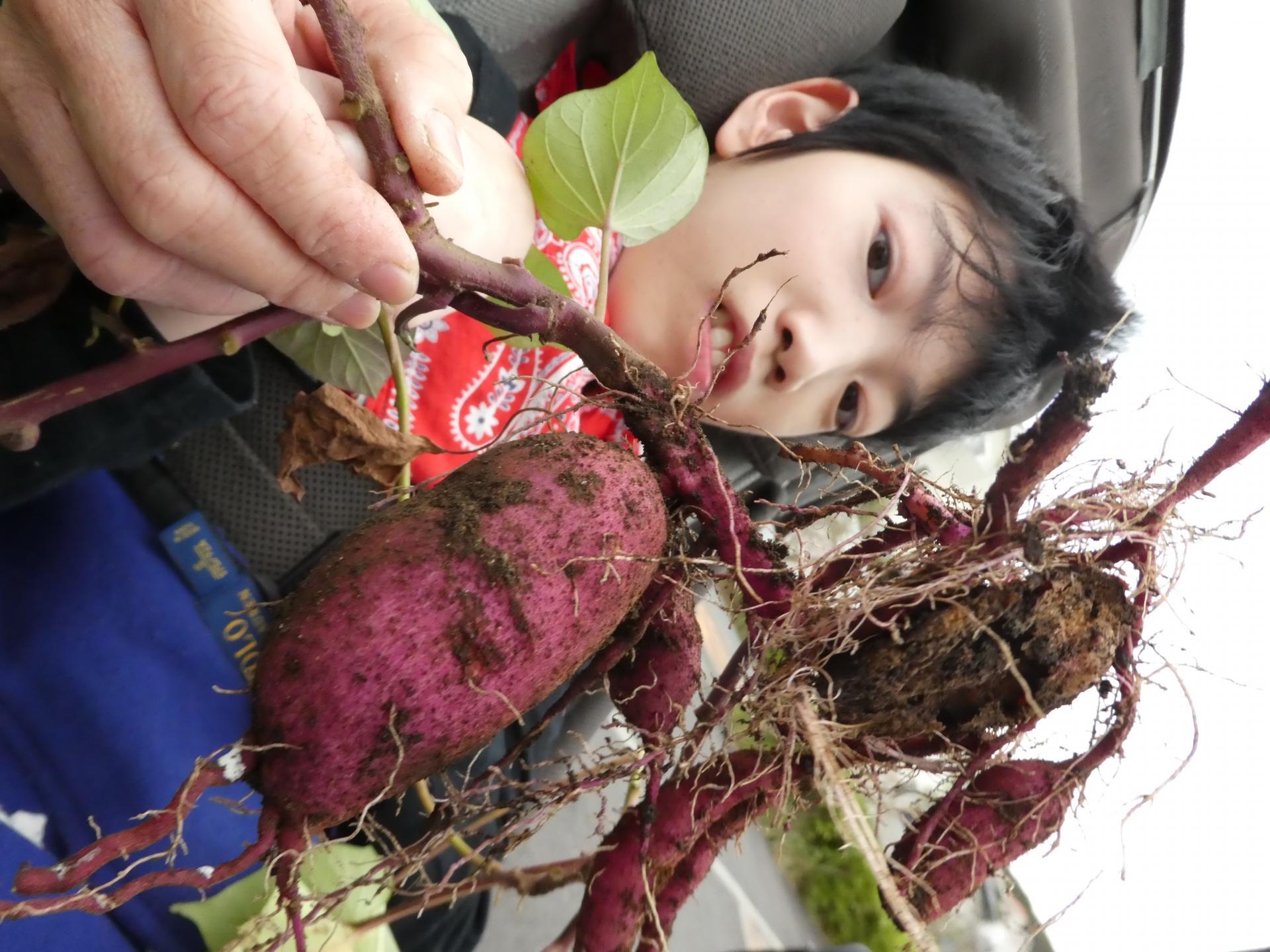 ライフの花壇で芋が豊作!